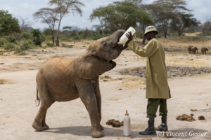 Young African elephants (Loxodonta africana) feeding with their carer of David Scheldick Wildlife Trust, Tsavo East National Park, Kenya, 2