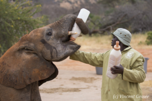 Young African elephants (Loxodonta africana) feeding with their carer of David Scheldick Wildlife Trust, Tsavo East National Park, Kenya, 4