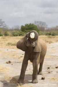 Young African elephants (Loxodonta africana) feeding alone, David Scheldick Wildlife Trust, Tsavo East National Park, Kenya, 2