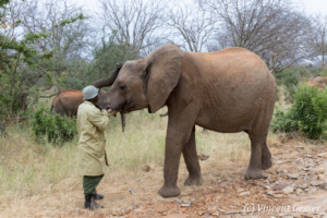 Young African elephants (Loxodonta africana) interacting with their carer of David Scheldick Wildlife Trust, Tsavo East National Park, Kenya, 2