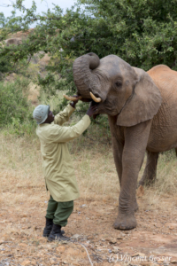 Young African elephants (Loxodonta africana) interacting with their carer of David Scheldick Wildlife Trust, Tsavo East National Park, Kenya, 3