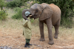 Young African elephants (Loxodonta africana) interacting with their carer of David Scheldick Wildlife Trust, Tsavo East National Park, Kenya, 4