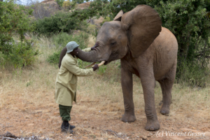 Young African elephants (Loxodonta africana) interacting with their carer of David Scheldick Wildlife Trust, Tsavo East National Park, Kenya, 5