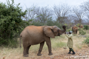 Young African elephants (Loxodonta africana) interacting with their carer of David Scheldick Wildlife Trust, Tsavo East National Park, Kenya, 6