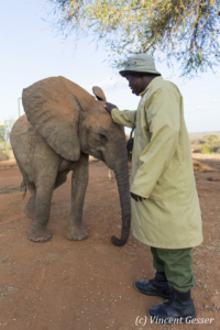 Young African elephants (Loxodonta africana) interacting with their carer of David Scheldick Wildlife Trust, Tsavo East National Park, Kenya, 7