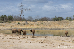 Young African elephants (Loxodonta africana) drinking at the waterhole, David Scheldick Wildlife Trust, Tsavo East National Park, Kenya, 1