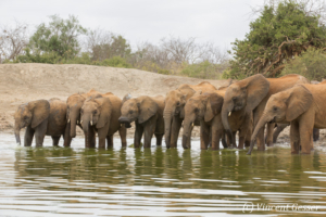 Young African elephants (Loxodonta africana) drinking at the waterhole, David Scheldick Wildlife Trust, Tsavo East National Park, Kenya, 2