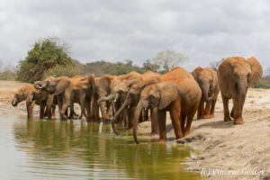 Young African elephants (Loxodonta africana) drinking at the waterhole, David Scheldick Wildlife Trust, Tsavo East National Park, Kenya, 3