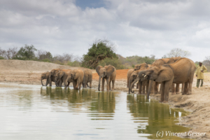 Young African elephants (Loxodonta africana) drinking at the waterhole, David Scheldick Wildlife Trust, Tsavo East National Park, Kenya, 4