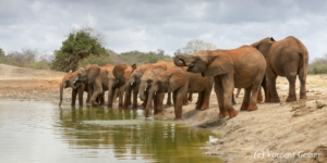 Young African elephants (Loxodonta africana) drinking at the waterhole, David Scheldick Wildlife Trust, Tsavo East National Park, Kenya, 5