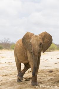 Young African elephants (Loxodonta africana) standing legs crossed, David Scheldick Wildlife Trust, Tsavo East National Park, Kenya