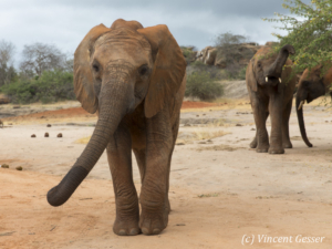 Young African elephants (Loxodonta africana) swinging its trunk, David Scheldick Wildlife Trust, Tsavo East National Park, Kenya
