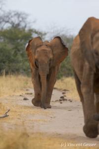 Young African elephants (Loxodonta africana) walking, David Scheldick Wildlife Trust, Tsavo East National Park, Kenya, 1