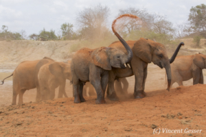 Young African elephants (Loxodonta africana) playing with the red soil, David Scheldick Wildlife Trust, Tsavo East National Park, Kenya, 1