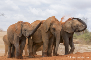Young African elephants (Loxodonta africana) playing with the red soil, David Scheldick Wildlife Trust, Tsavo East National Park, Kenya, 2