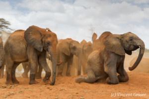 Young African elephants (Loxodonta africana) playing with the red soil, David Scheldick Wildlife Trust, Tsavo East National Park, Kenya, 5