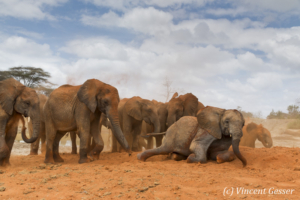 Young African elephants (Loxodonta africana) playing with the red soil, David Scheldick Wildlife Trust, Tsavo East National Park, Kenya, 6