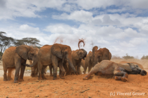 Young African elephants (Loxodonta africana) playing with the red soil, David Scheldick Wildlife Trust, Tsavo East National Park, Kenya, 7