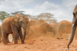 Young African elephants (Loxodonta africana) playing with the red soil, David Scheldick Wildlife Trust, Tsavo East National Park, Kenya, 9