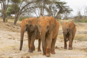 Group of young African elephants (Loxodonta africana) walking staight towards you, David Scheldick Wildlife Trust, Tsavo East National Park, Kenya, 1
