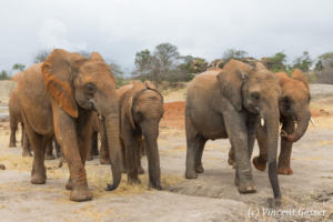 Group of young African elephants (Loxodonta africana) walking staight towards you, David Scheldick Wildlife Trust, Tsavo East National Park, Kenya, 2