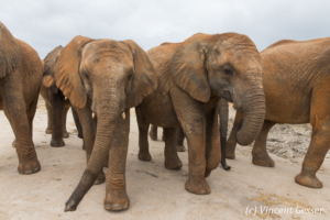 Group of young African elephants (Loxodonta africana) walking staight towards you, David Scheldick Wildlife Trust, Tsavo East National Park, Kenya, 3