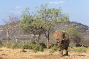 Big bull elephant (Loxodonta africana) walking staight towards you, David Scheldick Wildlife Trust, Tsavo East National Park, Kenya