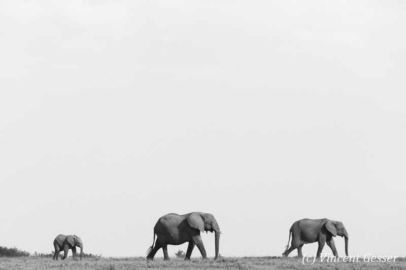 Little family of African elephants (Loxodonta africana) walking in the plain, Masai Mara National Reserve, Kenya, 1