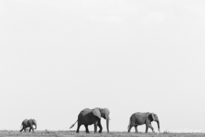 Little family of African elephants (Loxodonta africana) walking in the plain, Masai Mara National Reserve, Kenya, 2