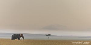 Bull African elephant (Loxodonta africana) with one tusk roaming the plain, Masai Mara National Reserve, Kenya