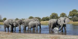 Group of African elephants (Loxodonta africana) drinking water in Khwai River, Khwai Concession, Botswana