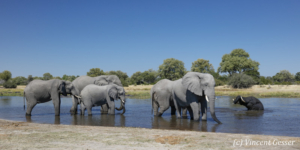 Group of African elephants (Loxodonta africana) drinking water and bathing in Khwai River, Khwai Concession, Botswana