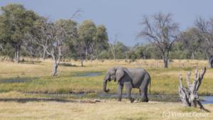 Bull African elephant (Loxodonta africana) walking in the savannah, Khwai Concession, Botswana