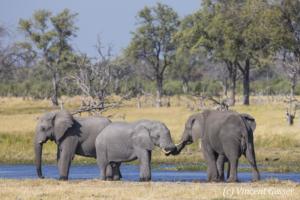 African elephants (Loxodonta africana) socialising near the Khwai River, Khwai Concession, Botswana