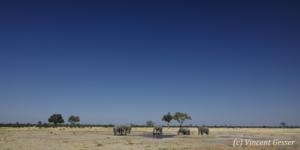 Group of five African elephants (Loxodonta africana) around a waterhole, Chobe National Park, Botswana