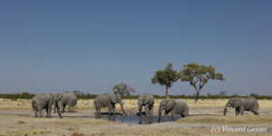 Group of six African elephants (Loxodonta africana) around a waterhole, Chobe National Park, Botswana