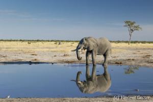 African elephant bull (Loxodonta africana) reflexion in a waterhole, Chobe National Park, Botswana