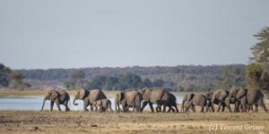 Family of African elephants (Loxodonta africana) along the banks of the Chobe River, Chobe National Park, Botswana