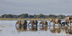 Family of African elephants (Loxodonta africana) walking in the Chobe River, Chobe National Park, Botswana