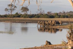 Family of African elephants (Loxodonta africana) drinking along the Chobe River, Chobe National Park, Botswana