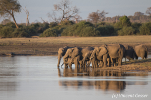 Family of African elephants (Loxodonta africana) drinking along the Chobe River, Chobe National Park, Botswana
