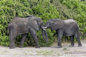 Two young African elephants (Loxodonta africana) playfighting, Chobe National Park, Botswana