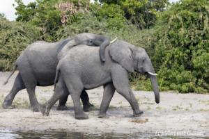 Two young African elephants (Loxodonta africana) walking and bonding, Chobe National Park, Botswana