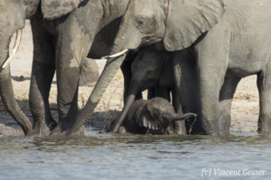 Family of African elephants (Loxodonta africana) and young calf along the Chobe River, Chobe National Park, Botswana