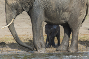 African elephants (Loxodonta africana) mother and young calf along the Chobe River, Chobe National Park, Botswana