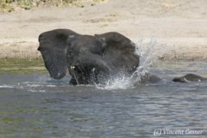 Young African elephant (Loxodonta africana) playing in the Chobe River, Chobe National Park, Botswana