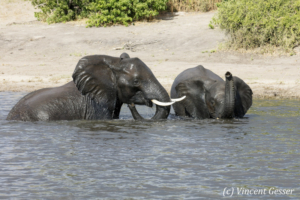 Young African elephants (Loxodonta africana) playing in the Chobe River, Chobe National Park, Botswana