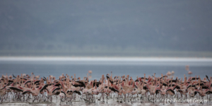 Flamingoes (Phoenicopterus minor) on shore of Lake Nakuru National Park, Kenya, 1