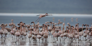 Flamingoes (Phoenicopterus minor) on shore of Lake Nakuru National Park, Kenya, 2