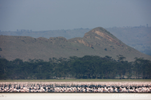 Flamingoes (Phoenicopterus minor) on shore of Lake Nakuru National Park, Kenya, 3